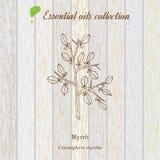 Myrrh, essential oil label, aromatic plant Stock Images