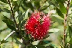 Myrtaceae Stock Images