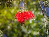 Myrtaceae da família de Callistemon, cultivado extensamente em muitas outras regiões e naturalizado em lugar dispersados imagens de stock