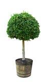 Myrte-Baum stockfotografie