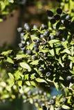Myrte-Baum mit schwarzer Beere stockfotografie