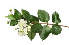 Myrte-Blumen und -laub Lizenzfreie Stockfotos