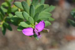 Myrten-blad milkwort royaltyfria bilder
