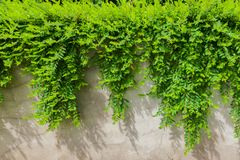 Myrtifolius de Phyllanthus Photos stock