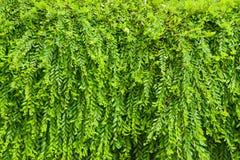 Myrtifolius di Phyllanthus Immagine Stock Libera da Diritti