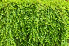 Myrtifolius di Phyllanthus Immagini Stock Libere da Diritti