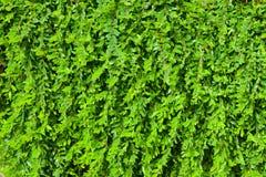 Myrtifolius di Phyllanthus Fotografie Stock