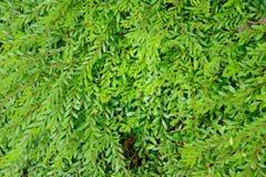 Myrtifolius van Phyllanthus Royalty-vrije Stock Foto's