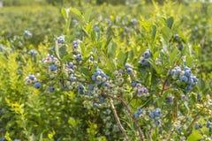 Myrtille Bush Image libre de droits