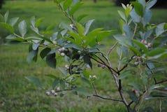 Myrtille Bush avec les myrtilles unrippened image stock