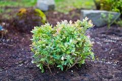 Myrtille Bush dans le jardin Photo libre de droits