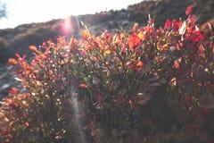 Myrtille Bush sauvage sur le pré de montagne au R-U images libres de droits