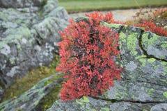 Myrtille rouge en automne Images stock
