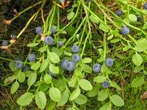 Myrtille sauvage de forêt de Bush avec les baies bleues mûres l'été Photos libres de droits