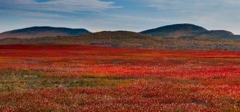 Myrtille stérile dans Downeast Maine, Nouvelle Angleterre, Etats-Unis images stock
