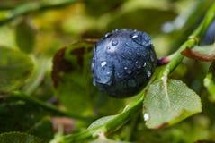 Myrtilles avec des baisses de l'eau après pluie Photos stock