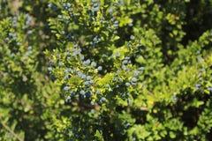 Myrtilles dans la forêt Photos libres de droits