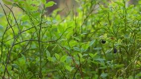 Myrtilles de plan rapproché dans la forêt, glissière clips vidéos