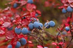 Myrtilles mûres en automne photo libre de droits