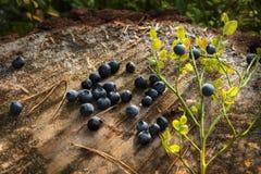 Myrtilles mûres délicieuses se trouvant sur un grand tronçon d'arbre dans une forêt de pin Image libre de droits