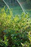 Myrtilles mûrissant sur le buisson Photos stock