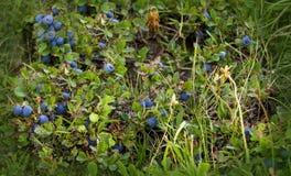 Myrtilles ombragées fraîches mûrissant sur Bush Photos stock