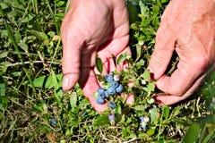 Myrtilles organiques fraîches sur le buisson avec des mains photo stock