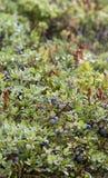 Myrtilles sauvages Images libres de droits