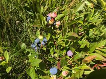 Myrtilles sauvages canadiennes Photographie stock libre de droits