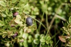 Myrtilles sauvages fraîches sur le buisson Nature de beauté photos stock
