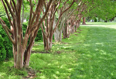 myrtle δέντρα σειρών Στοκ φωτογραφίες με δικαίωμα ελεύθερης χρήσης