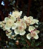 Myrtle λουλούδι Στοκ Εικόνες