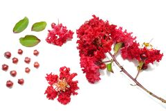Myrtle υφάσματος κρεπ λουλούδι που απομονώνεται στο άσπρο υπόβαθρο, κόκκινο λουλούδι στο άσπρο υπόβαθρο Στοκ Εικόνες