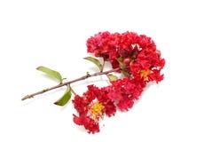 Myrtle υφάσματος κρεπ λουλούδι στο άσπρο υπόβαθρο, κόκκινο λουλούδι στο άσπρο υπόβαθρο Στοκ Εικόνες