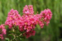 Myrtle υφάσματος κρεπ λουλούδι στοκ εικόνες