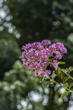 Myrtle υφάσματος κρεπ ρόδινα λουλούδια Στοκ Φωτογραφία