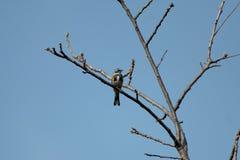 Myrtle& x27; певчая птица s желтая-Rumped Стоковое Фото