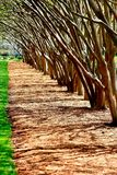 Myrtle. Crepe Myrtles in a row Stock Photos