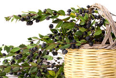 Myrtle and basket. Myrtle from forest in the basket Stock Images