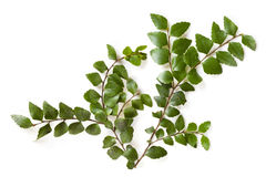 Myrtle Beech Leaves. Delicate leaves of the ancient myrtle beech tree,  over white.  Nothofagus cunninghamii, found in the cool temperate rainforests of Stock Photography