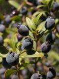 Myrtle berries Stock Images