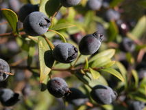 Myrtle berries Stock Photography