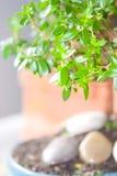 Myrtle bonsai tree. With shalow dof stock photo