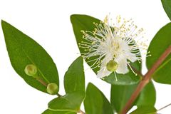 Myrtle flower stock photo