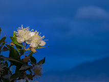 Myrtle Myrtus communis on sky background. Close up of beautiful flower of Myrtle Myrtus communis Stock Image