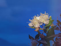 Myrtle Myrtus communis on sky background. Close up of beautiful flower of Myrtle Myrtus communis. Image slightly toned for inspiration of vintage style Royalty Free Stock Image