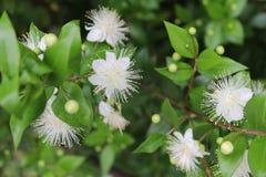 Myrtle, myrtus, myrthen, common myrtle. Flowering in garden stock image