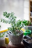 Myrtle plant aka myrtus as house plant standing on window sill at flower pot. Myrtle plant aka myrtus as house plant standing on window sill at flower pot royalty free stock photos