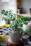 Myrtle plant aka myrtus as house plant standing on window sill at flower pot. Myrtle plant aka myrtus as house plant standing on window sill at flower pot royalty free stock image