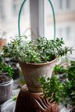 Myrtle plant aka myrtus as house plant standing on window sill at flower pot. Myrtle plant aka myrtus as house plant standing on window sill at flower pot stock image